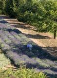 En `-trädgård mycket av lavendel`, royaltyfri fotografi