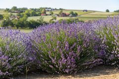 En `-trädgård mycket av lavendel` som är ordnad vid Barbara och Andrzej Olender i Ostrà ³ w 40 km från Krakow Arkivbild