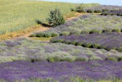 En `-trädgård mycket av lavendel` som är ordnad vid Barbara och Andrzej Olender i Ostrà ³ w 40 km från Krakow royaltyfria bilder