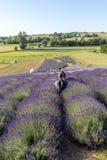 En `-trädgård mycket av lavendel` som är ordnad vid Barbara och Andrzej Olender i Ostrà ³ w 40 km från Krakow Lukten och färgen a royaltyfria bilder