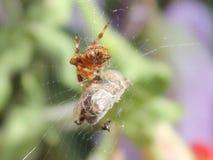 En trädgårds- spindel Arkivbild