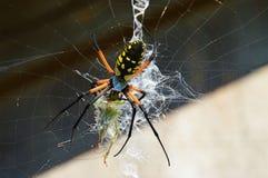 En trädgårds- spindel konsumerar en gräshoppa Arkivfoto