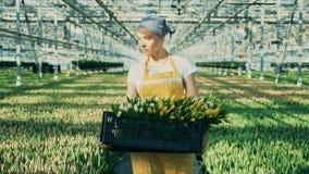 En trädgårdsmästare bär en korg med tulpan som arbetar i ett växthus stock video