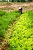 En trädgårdsmästare med grönsallat Arkivbild