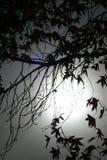 En trädkontur med månen Royaltyfri Foto