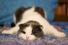 En trött rolig katt ligger på buken på sängen Royaltyfri Fotografi
