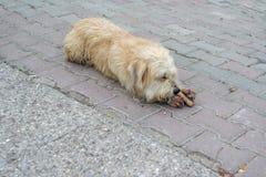 En trött tillfällig hund som ligger på vägen arkivfoto