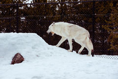 En trött varg gäspar med det insnöat vintern i koppla avtiden Royaltyfri Bild