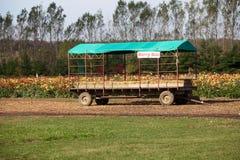 En traktorritt för val av bär framme av ett blommafält på en lantgård Arkivbild