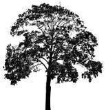 En treesilhouette Arkivbild