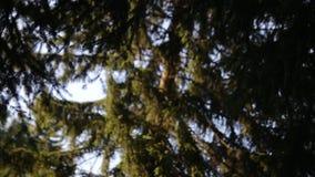 En trevlig panna av ett sörjaträd från ner arkivfilmer