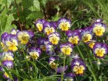 En tricolor liten blomsterrabatt av altfiolen Royaltyfri Bild