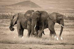 En trio av afrikanska elefanter Arkivbild
