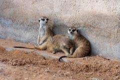 En trio av meerkats i öknen royaltyfri bild
