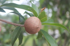 En tropisk frukt: Manikara Zapota royaltyfria bilder