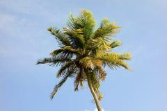En tropisk palmträd i de lovart- öarna Arkivfoto