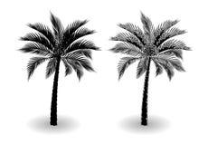 En tropisk palmträd i svartvitt Stiliserat för blyertspenna bakgrund isolerad white illustration Arkivbild