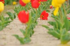 En Tulip Field Fotografía de archivo libre de regalías