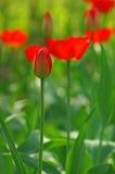 En tulpanknopp i den oskarpa bakgrundsbokehen av den blommande röda tulpan Royaltyfri Fotografi