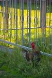 En tupp i lantgården i Ryssland arkivbild