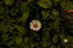 En tusensköna omger med gräs arkivfoton