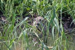 En tvättbjörn i ogräsen Arkivfoto