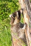 En tvättbjörn som snörvlar på ett träd Royaltyfri Fotografi