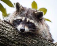En tvättbjörn som vilar på en trädfilial och ser kameran royaltyfri fotografi