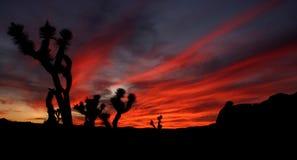 Skyen avfyrar på nationalparken för den Joshua treen Fotografering för Bildbyråer