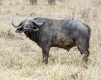 En uddebuffel som ser dig Arkivfoton