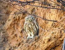 En uggla i naturen, a-nattfågel royaltyfria bilder