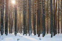 En un bosque del pino en invierno Fotografía de archivo