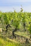 En un campo de viñedos Foto de archivo libre de regalías