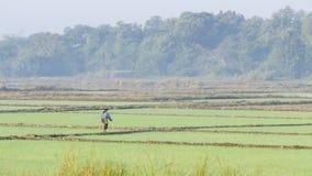 En un campo del arroz Imagen de archivo