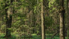En un claro en la madrugada todo del bosque en los snowdrops HD 1080 almacen de video