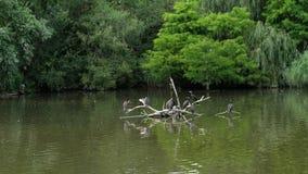 En un día de verano caliente, en el lago hay muchos diversos pájaros, pilotos, patos almacen de metraje de vídeo