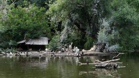 En un día de verano caliente, en el lago hay muchos diversos pájaros, pilotos, patos metrajes