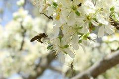 En un día soleado la abeja bebe el néctar Fotos de archivo