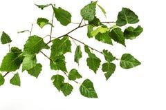 En un fondo blanco una rama del abedul con las hojas verdes Fotos de archivo libres de regalías