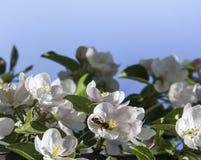 En un fondo del cielo azul una rama de un manzano con las flores y las hojas sienta un espacio de la copia de la abeja Fotografía de archivo libre de regalías
