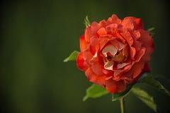 En un fondo verde una flor grande de la rosa del rojo Imagenes de archivo