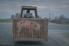 En un granjero de la carretera nacional que transporta el cerdo en tractor foto de archivo