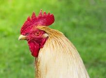 En un grito rojo del fondo del gallo del perfil del bozal de la cresta roja verde del pico los cuervos despiertan el despertador  imágenes de archivo libres de regalías