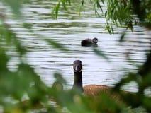 En un lago inglés los gansos miran a través de los árboles Imágenes de archivo libres de regalías