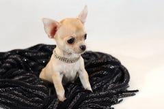 En un lugar caliente - perrito de Chihuhua en bufanda de las lanas Fotos de archivo