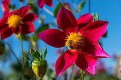 En una flor roja de la dalia Foto de archivo