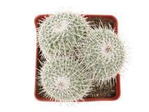 En una maceta es el cactus espinoso verde tres Aislado en blanco Visión superior foto de archivo
