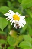 En una manzanilla la araña blanca sienta y come una abeja Foto de archivo