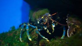 En undervattens- hummer stock video