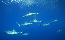 En undervattens- packe av hajar som simmar arkivbilder
